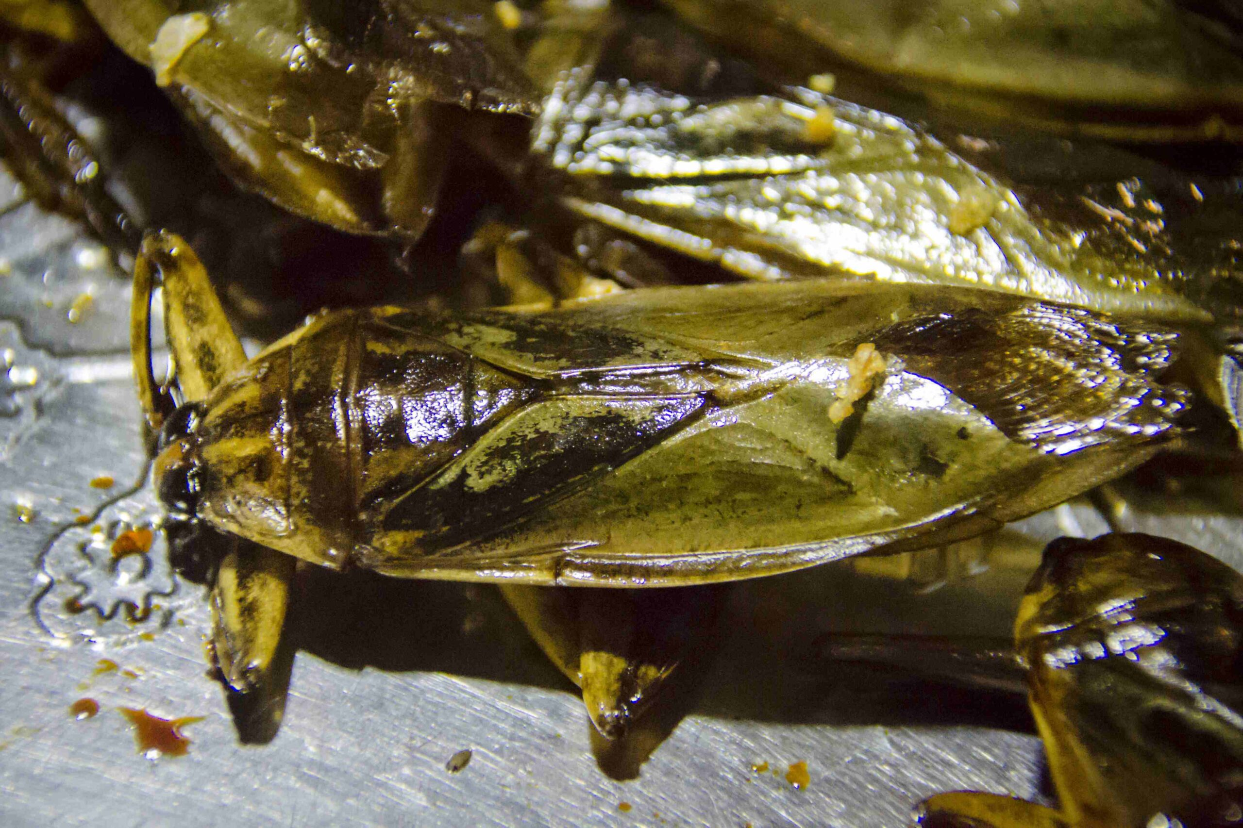 Eating Insects: Giant water bugs... don't be intimidated