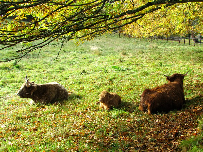 Highland cattle calf at Pollok Country Park - photo by Glen Bowman under CC BY 2.0