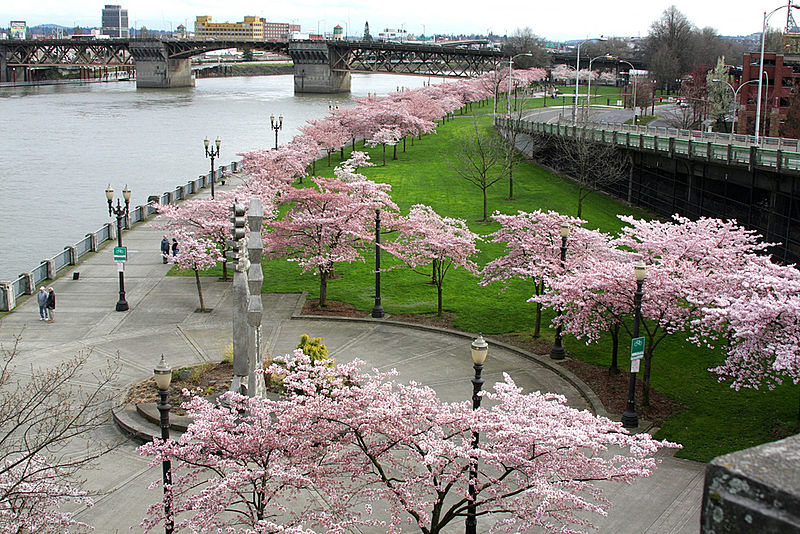 Cherry blossoms in Tom McCall Waterfront Park - photo by flickr user atul666 under CC-BY-SA-2.0