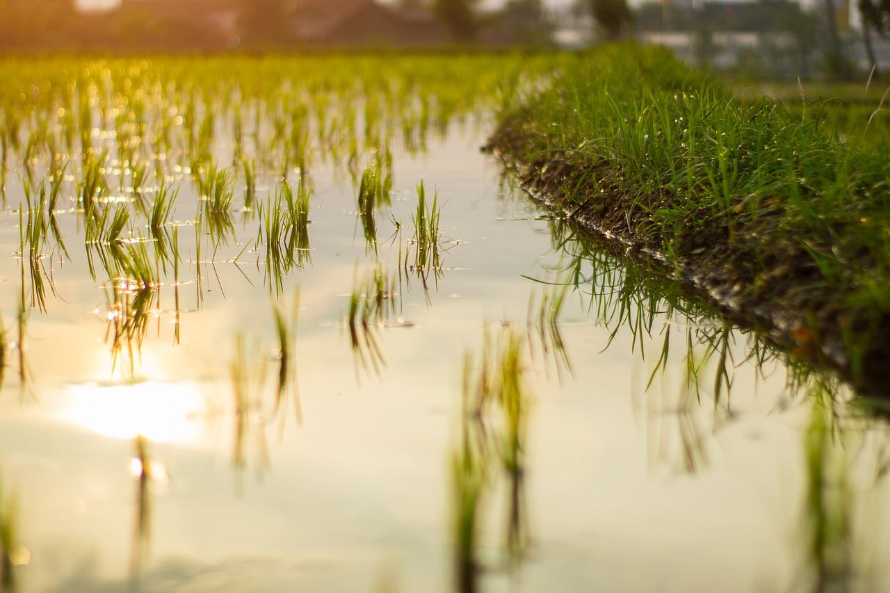Rice paddy in Jawa Barat, Indonesia - photo by Taufan Prasetya from Pixabay